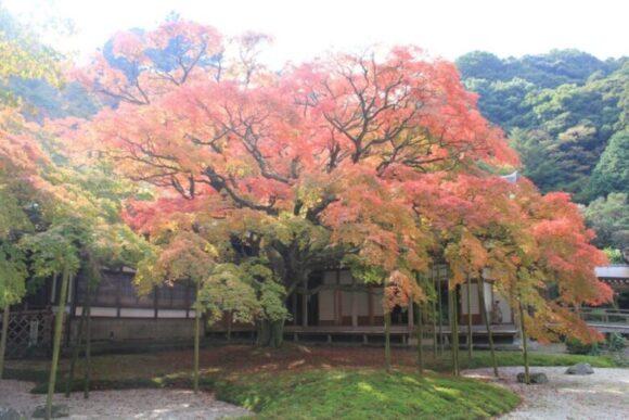 千如寺の大カエデ