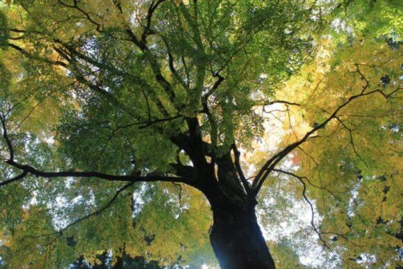これが樹齢900年のイチョウの木だ。雷神社へ続く階段の真横に立っている。